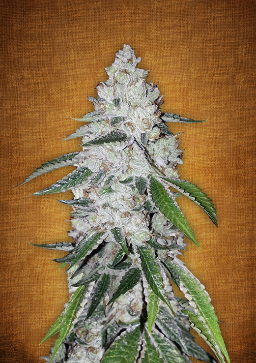 wedding cake s1 seeds stardawg fast buds primo seeds 23739