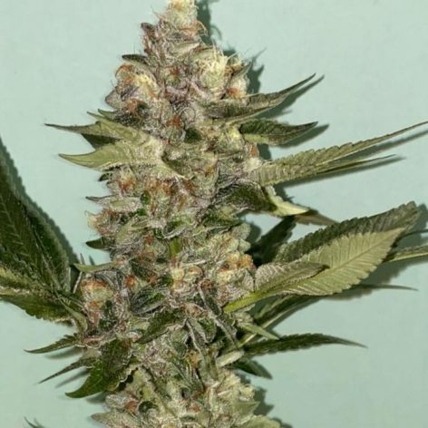 biscotti-cannabis-seeds-the-plug_1