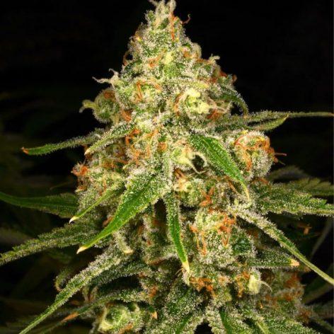 ginger-tea-female-cannabis-seeds-archive-seedbank_1