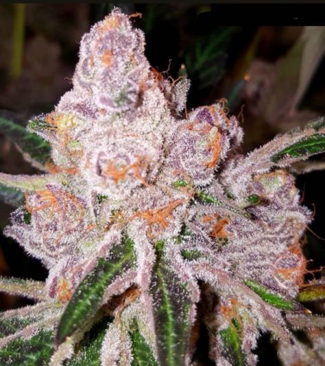dank-genetics—purple-sunset
