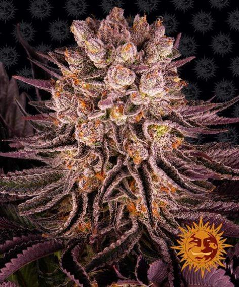 mimosa-x-orange-punch_circle_new_21_371983