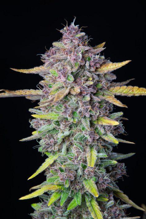 Purple Punche4